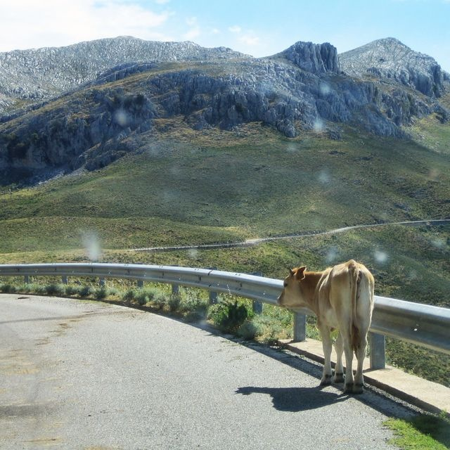 Cow on the road to ...