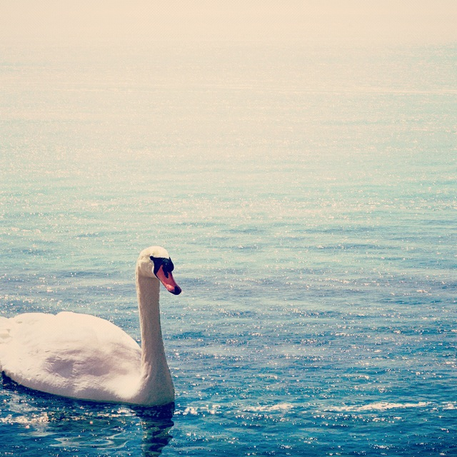 Mystical and graceful as a swan